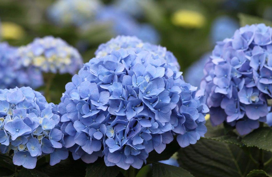 Гортензия или пушистая красавица для вашего сада